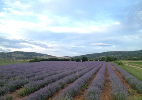 Two years old lavender cultivation